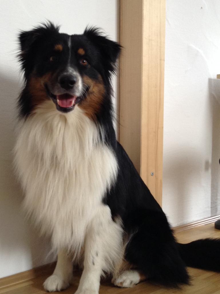 Therapiehund Harry